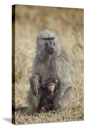 Olive Baboon (Papio Cynocephalus Anubis) Infant and Mother-James Hager-Stretched Canvas Print