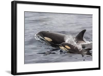 An Adult Killer Whale (Orcinus Orca) Surfaces Next to a Calf Off the Cumberland Peninsula-Michael Nolan-Framed Photographic Print