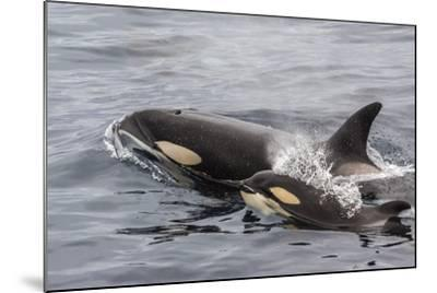 An Adult Killer Whale (Orcinus Orca) Surfaces Next to a Calf Off the Cumberland Peninsula-Michael Nolan-Mounted Photographic Print