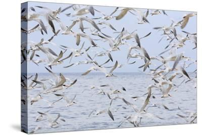 Terns on Capitola Beach, Capitola City, Santa Cruz County, California, United States of America-Richard Cummins-Stretched Canvas Print