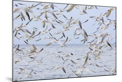 Terns on Capitola Beach, Capitola City, Santa Cruz County, California, United States of America-Richard Cummins-Mounted Photographic Print