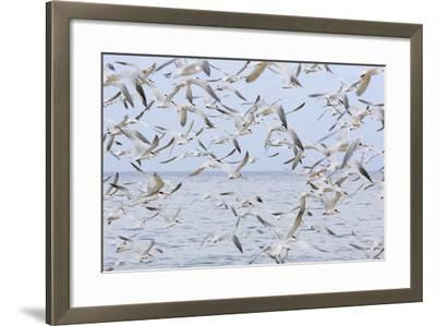 Terns on Capitola Beach, Capitola City, Santa Cruz County, California, United States of America-Richard Cummins-Framed Photographic Print
