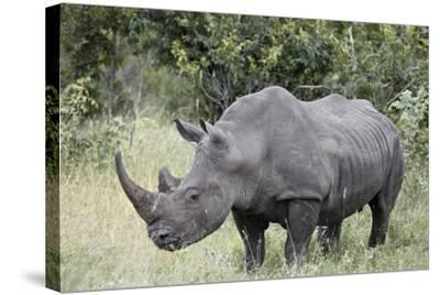 White Rhinoceros (Ceratotherium Simum), Kruger National Park, South Africa, Africa-James Hager-Stretched Canvas Print