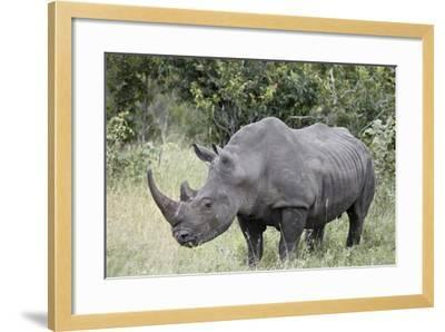 White Rhinoceros (Ceratotherium Simum), Kruger National Park, South Africa, Africa-James Hager-Framed Photographic Print