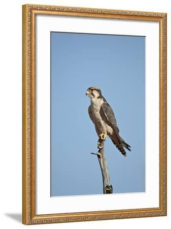 Lanner Falcon (Falco Biarmicus)-James Hager-Framed Photographic Print