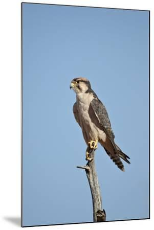 Lanner Falcon (Falco Biarmicus)-James Hager-Mounted Photographic Print