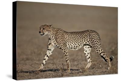Cheetah (Acinonyx Jubatus)-James Hager-Stretched Canvas Print