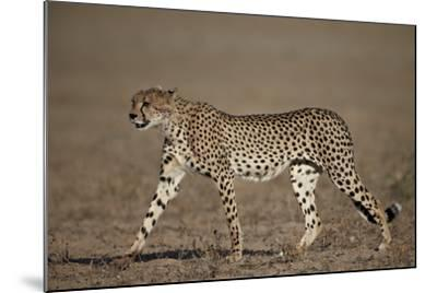 Cheetah (Acinonyx Jubatus)-James Hager-Mounted Photographic Print