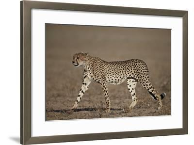 Cheetah (Acinonyx Jubatus)-James Hager-Framed Photographic Print