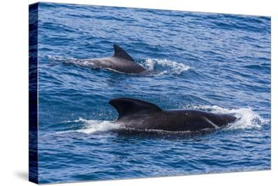 Adult Female and Male Long-Finned Pilot Whales (Globicephala Melas)-Michael Nolan-Stretched Canvas Print