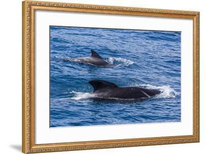 Adult Female and Male Long-Finned Pilot Whales (Globicephala Melas)-Michael Nolan-Framed Photographic Print