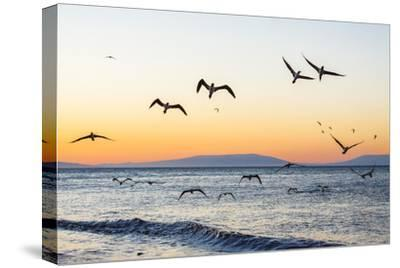 Blue-Footed Boobies (Sula Nebouxii) Plunge-Diving for Small Fish Off Rabida Island-Michael Nolan-Stretched Canvas Print