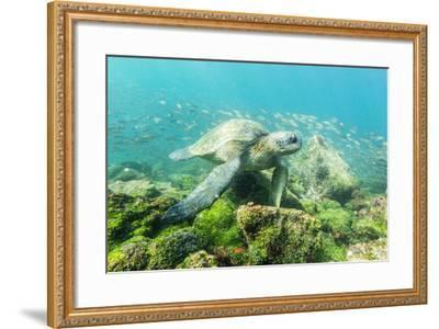 Adult Green Sea Turtle (Chelonia Mydas) Underwater Near Rabida Island-Michael Nolan-Framed Photographic Print