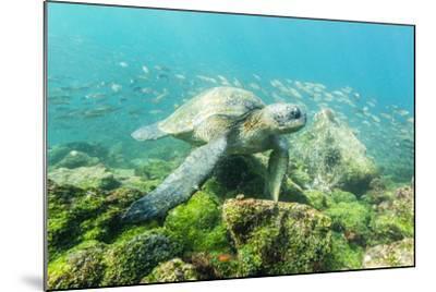 Adult Green Sea Turtle (Chelonia Mydas) Underwater Near Rabida Island-Michael Nolan-Mounted Photographic Print