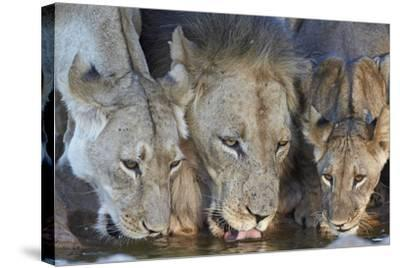 Lion (Panthera Leo) and Two Cubs Drinking-James Hager-Stretched Canvas Print