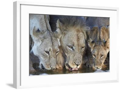Lion (Panthera Leo) and Two Cubs Drinking-James Hager-Framed Photographic Print