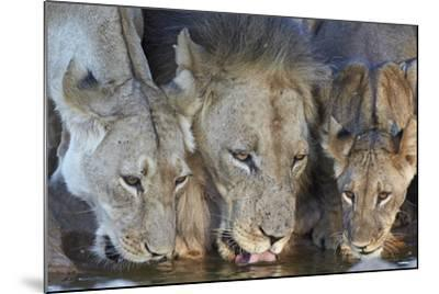 Lion (Panthera Leo) and Two Cubs Drinking-James Hager-Mounted Photographic Print