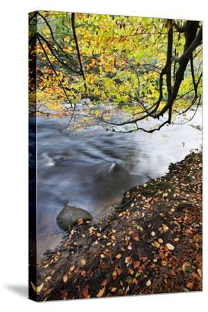 Fallen Leaves and Tree Overhanging the River Nidd in Nidd Gorge in Autumn-Mark Sunderland-Stretched Canvas Print