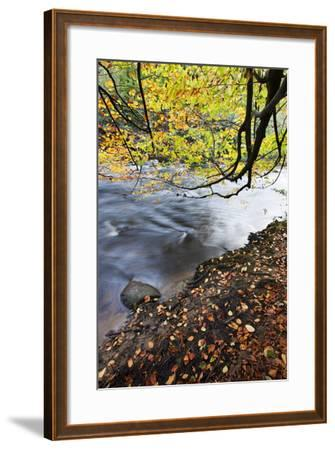 Fallen Leaves and Tree Overhanging the River Nidd in Nidd Gorge in Autumn-Mark Sunderland-Framed Photographic Print