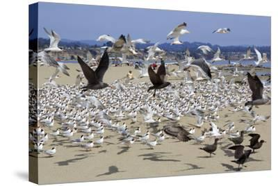 Terns and Seagulls-Richard Cummins-Stretched Canvas Print