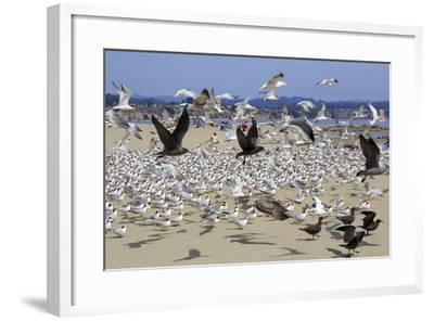 Terns and Seagulls-Richard Cummins-Framed Photographic Print
