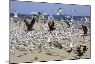 Terns and Seagulls-Richard Cummins-Mounted Photographic Print