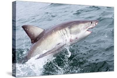 Great White Shark (Carcharodon Carcharias) at the Surface at Kleinbaai in the Western Cape-Louise Murray-Stretched Canvas Print
