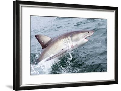 Great White Shark (Carcharodon Carcharias) at the Surface at Kleinbaai in the Western Cape-Louise Murray-Framed Photographic Print