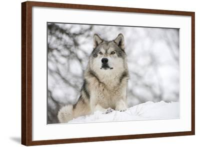 North American Timber Wolf (Canis Lupus) in Forest-Louise Murray-Framed Photographic Print