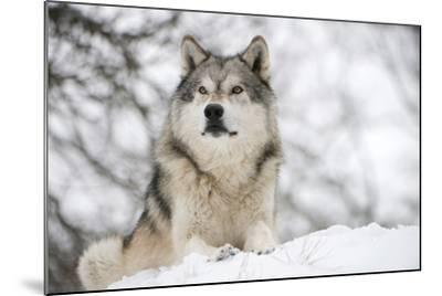North American Timber Wolf (Canis Lupus) in Forest-Louise Murray-Mounted Photographic Print