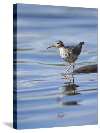 Spotted Sandpiper (Actitis Macularia)-James Hager-Stretched Canvas Print