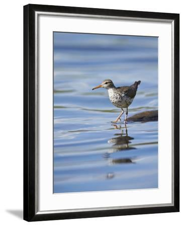 Spotted Sandpiper (Actitis Macularia)-James Hager-Framed Photographic Print