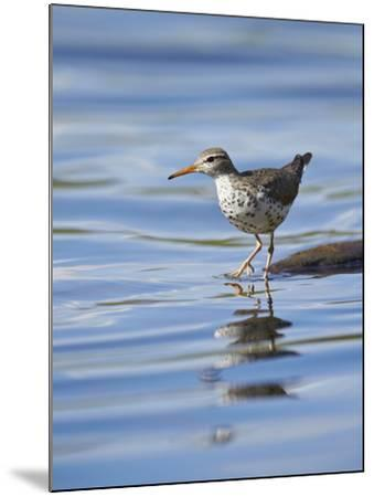 Spotted Sandpiper (Actitis Macularia)-James Hager-Mounted Photographic Print