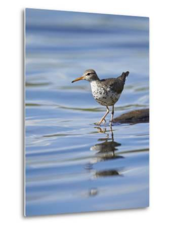Spotted Sandpiper (Actitis Macularia)-James Hager-Metal Print