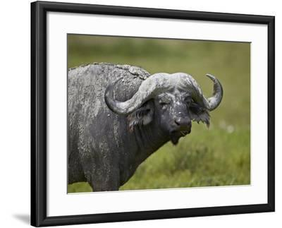 Cape Buffalo (African Buffalo) (Syncerus Caffer) Covered-James Hager-Framed Photographic Print