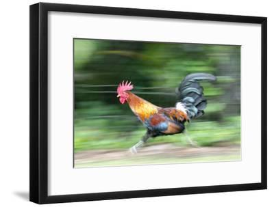 Motion Blur of a Wild Rooster at Hanalei Beach on the Na Pali Coast of Kauai, Hawaii-Rich Reid-Framed Photographic Print