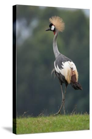 Portrait of a Grey Crowned Crane, Balearica Regulorum-Tom Murphy-Stretched Canvas Print