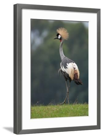 Portrait of a Grey Crowned Crane, Balearica Regulorum-Tom Murphy-Framed Photographic Print