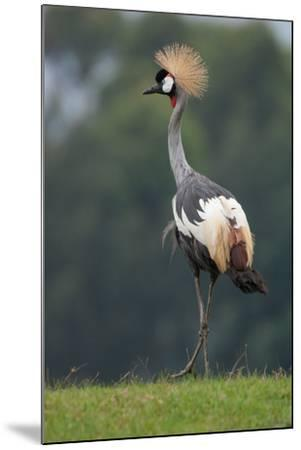 Portrait of a Grey Crowned Crane, Balearica Regulorum-Tom Murphy-Mounted Photographic Print