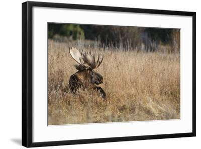 A Bull Moose Rests in Tall Grass in the Fall-Tom Murphy-Framed Photographic Print