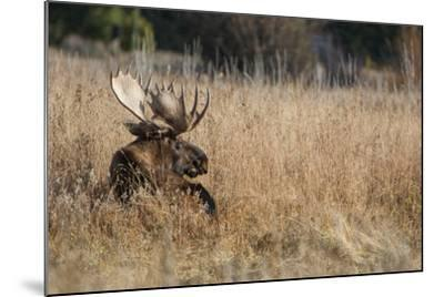 A Bull Moose Rests in Tall Grass in the Fall-Tom Murphy-Mounted Photographic Print