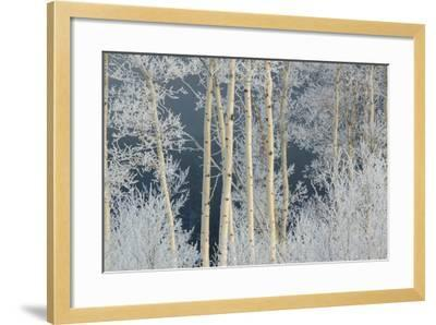 Frost Coated Branches on Aspen Trees-Tom Murphy-Framed Photographic Print