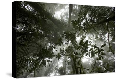 Mist in the Cloud Forest at Sombom Ridge in the Saruwaged Range-Tim Laman-Stretched Canvas Print