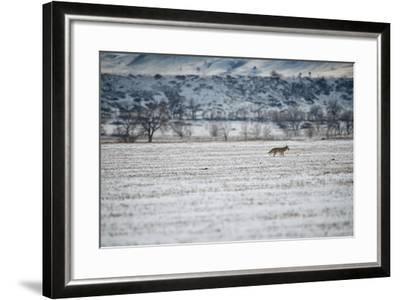 A Coyote, Canis Latrans, Near Boulder-Keith Ladzinski-Framed Photographic Print