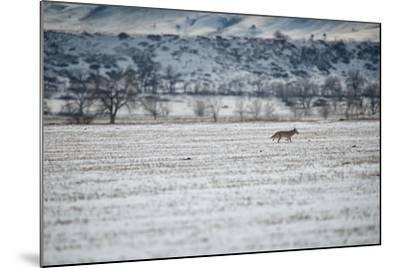 A Coyote, Canis Latrans, Near Boulder-Keith Ladzinski-Mounted Photographic Print