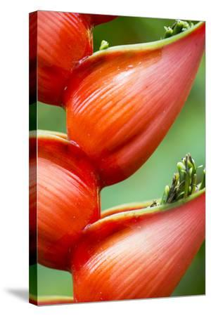 Close Up of a Cluster of Heliconia Flowers-Michael Melford-Stretched Canvas Print