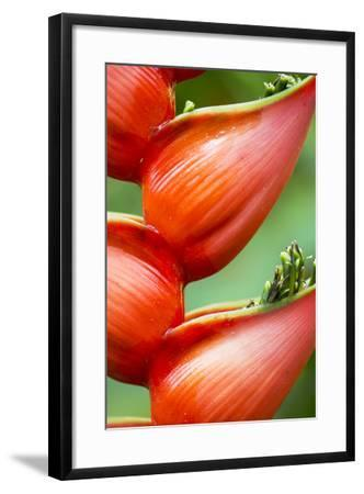 Close Up of a Cluster of Heliconia Flowers-Michael Melford-Framed Photographic Print