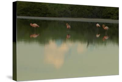 Greater Flamingos, Phoenicopteriformes Roseus, Resting and Grooming While Standing in Water-Tim Laman-Stretched Canvas Print