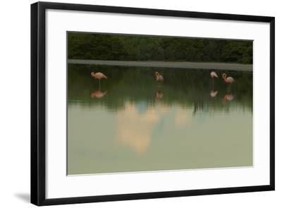 Greater Flamingos, Phoenicopteriformes Roseus, Resting and Grooming While Standing in Water-Tim Laman-Framed Photographic Print