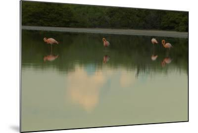 Greater Flamingos, Phoenicopteriformes Roseus, Resting and Grooming While Standing in Water-Tim Laman-Mounted Photographic Print